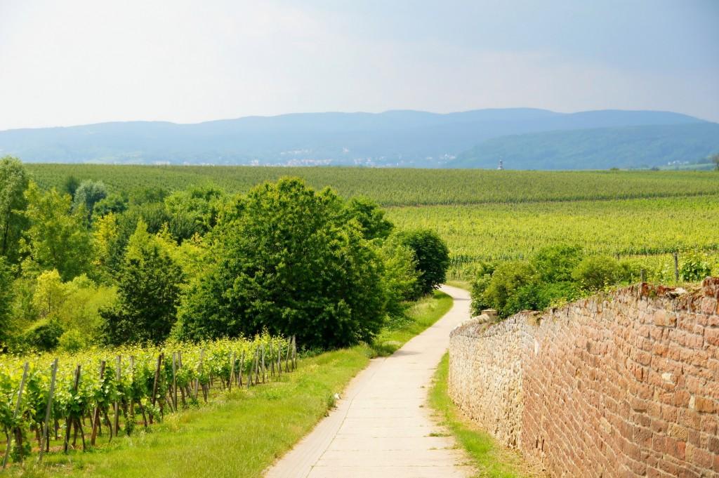 Weinlandschaft bei Herxheim in der Pfalz mit Blick Richtung Neustadt und Pfälzerwald - Radweg Deutsche Weinstraße