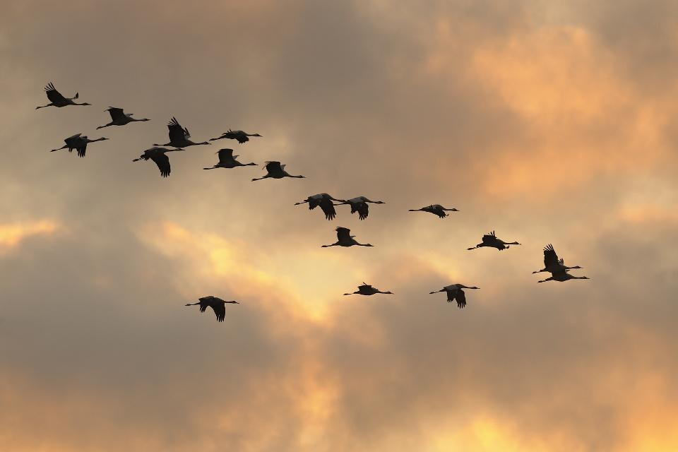 Kraniche fliegen über den Nationalpark