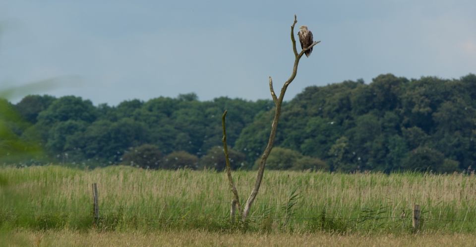 Seeadler, Haliaeetus albicilla, Nossentiner Schwinzer Heide