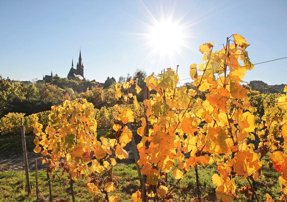 Weinberg im Herbst bei Eltville im Weinbaugebiet Rheingau