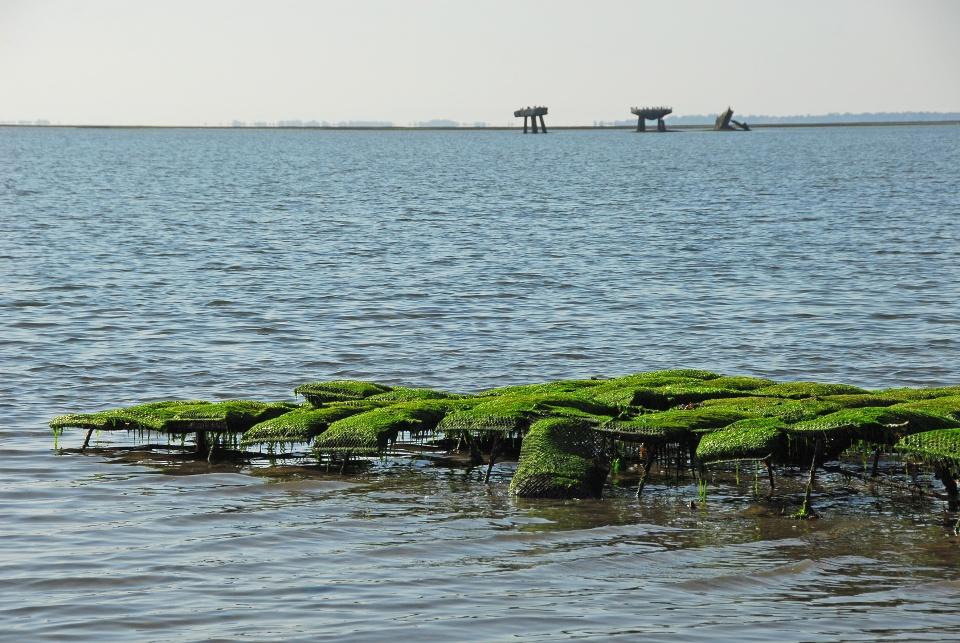 Austernbank: Das Leben von Auster und Miesmuschel auf Sylt