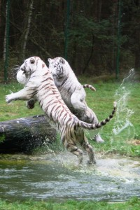 Weiße Tiger spielen Ball © Serengeti-Park Hodenhagen