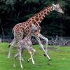 Giraffe mit Kälbchen