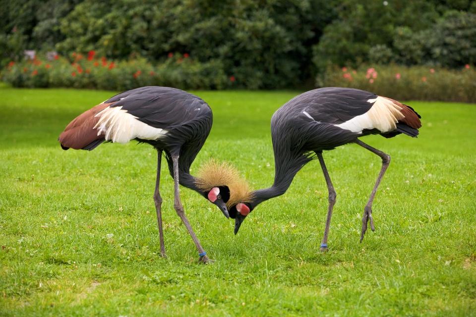 Kraniche im Vogelpark