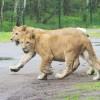 Junge Löwen auf Streifzug © Serengeti-Park Hodenhagen