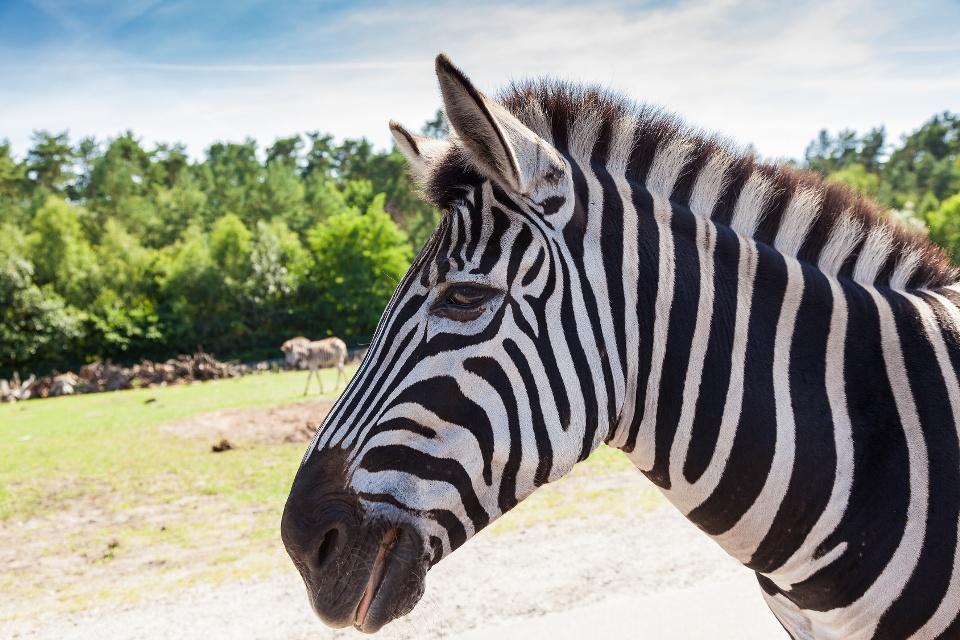 Zebra im Serengeti Park