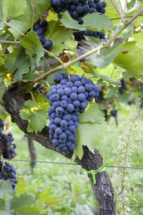 Weinstock mit blauen Trauben