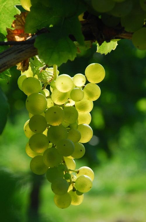 Weinstock mit weißen Trauben