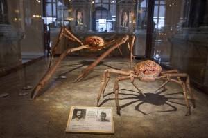 Japanische Riesenseespinne im Naturhistorischen Museum Wien, Österreich
