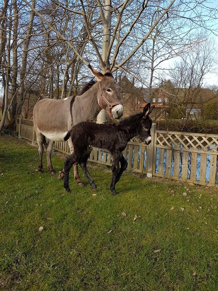 Esel auf dem Esel- und Landspielhof Nessendorf